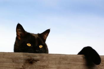 Przyczajony czarny kot(fot.morguefile.com)